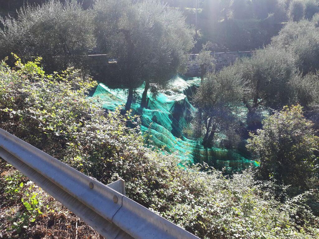 Prino-Tal Olivenernte
